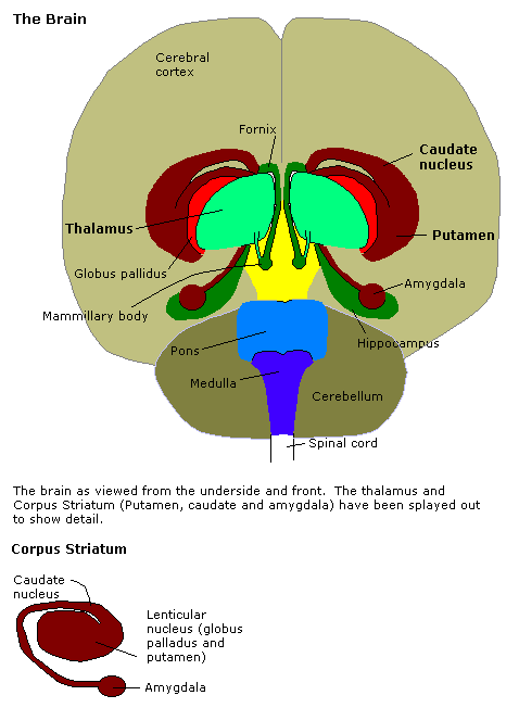 Brain diagram with position of amygdala