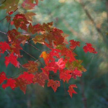 Maple leaves in autumn. The imperfect beauty of physical reality